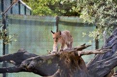 Lynx. Iberian lynx cub on top of a tree trunk Royalty Free Stock Image