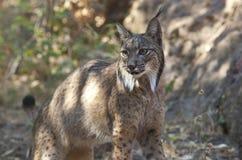 Lynx ibérien Images libres de droits