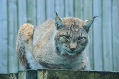 Lynx. Illustration to magazine about animals Royalty Free Stock Photos
