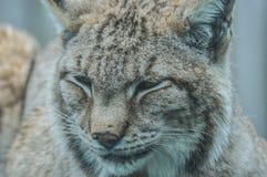 Lynx. Illustration to magazine about animals Stock Photo