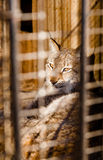 Lynx imprisonment in a cage Stock Photo
