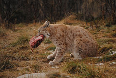 A lynx and its food. A lynx enjoying a nice steak at Langedrag Wildlifepark in Tunhovd, Norway Royalty Free Stock Photography