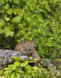 Lynx Kitten Stock Photo