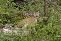 Lynx Kitten on a Log. Beautiful lynx kitten on a log with green background Stock Images