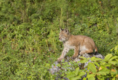 Lynx Kitten on a Rock Stock Images