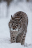 Lynx kitten in snowy winter scene, Norway Stock Images