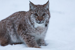 Lynx kitten in snowy winter scene, Norway Royalty Free Stock Photo