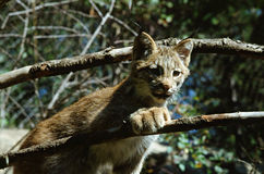 Lynx Kitten Summer Outing Royalty Free Stock Photos