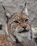 Lynx 3 Royalty Free Stock Photos