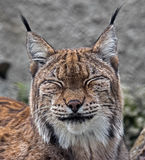 Lynx 5 Royalty Free Stock Image