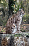 Lynx 6 Stock Photo
