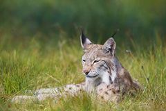 Lynx laying in the grass. Eurasian lynx rests in the green grass Royalty Free Stock Photos
