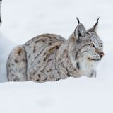Lynx laying in the snow. European lynx in the snow a cold winter, february, Norway Royalty Free Stock Image