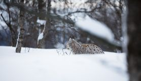 Lynx laying in the snow. European lynx in the snow a cold winter, february, Norway Stock Photos