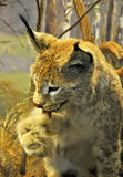 Lynx licking its paw Royalty Free Stock Photo