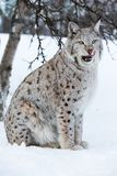 Lynx licking lips after a meal. A european lynx in the forest. February, Norway Royalty Free Stock Image