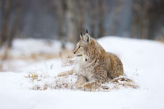 Lynx lies and rests in the snow Stock Image