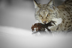 Lynx looking at Camera. Stock Image