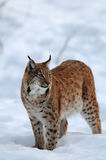 Lynx is looking in the winter Stock Images