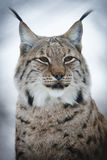 Lynx on the lookout. A magnificent lynx with a snowy background Royalty Free Stock Image