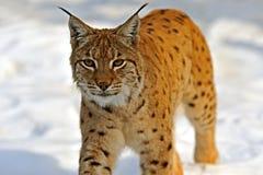 Lynx in loro Fotografia Stock Libera da Diritti