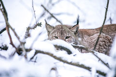 Lynx lurking in a Winter Forest Stock Images