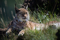 Lynx lying on grassy rock closing eyes Royalty Free Stock Photography