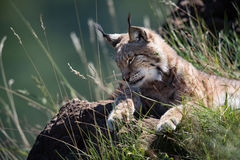 Lynx lying on grassy rock looking down Stock Image