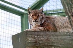 Lynx. Lying on the log half asleep Stock Image