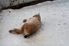 Lynx lying in the snow Stock Photos
