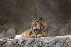 Lynx lying on the stone. In zoo Royalty Free Stock Photos