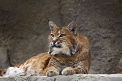 Lynx lying on the stone Stock Images