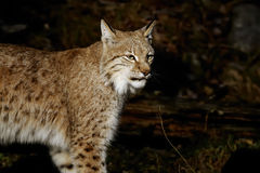 Lynx lynx Royalty Free Stock Photo