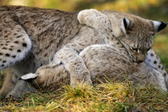 Lynx lynx Royalty Free Stock Images