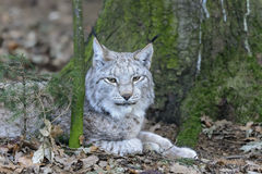 Lynx lynx Royalty Free Stock Photo