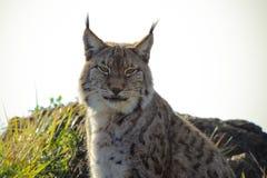 Lynx lynx Immagine Stock
