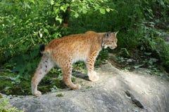 Lynx lynx Fotografia Stock Libera da Diritti
