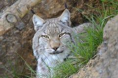 Lynx Lynx Stock Photo
