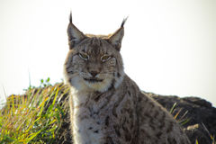 Lynx Lynx. A close up of an Eurasian Lynx Stock Image