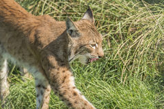 Lynx (Lynx) Royalty Free Stock Images