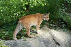 Lynx lynx. Lynx curiously walking in the woods Royalty Free Stock Photo