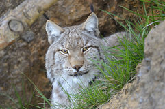 Lynx lynx. The Eurasian lynx  is a species of carnivorous mammal of the Felidae family. He is the most common and well-known representative of the genus Lynx. It Stock Photo