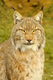Lynx lynx. The Eurasian lynx  is a species of carnivorous mammal of the Felidae family. He is the most common and well-known representative of the genus Lynx. It Stock Images