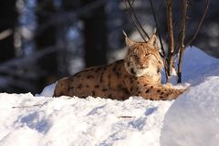 Lynx (Lynx lynx). (Lynx lynx) is a feline naturally occurring in Eurasia. It is the largest feline in Europe and are among the species protected under the Berne Stock Images