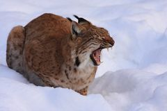 Lynx (Lynx lynx) Royalty Free Stock Photos