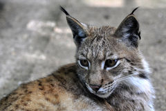Lynx (Lynx lynx) Royalty Free Stock Images