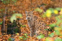 Lynx (Lynx lynx) n the Bavarian forest. Stock Images