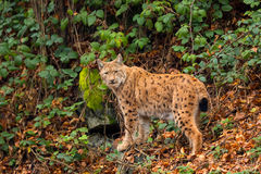 Lynx (Lynx lynx) n the Bavarian forest. Stock Photos