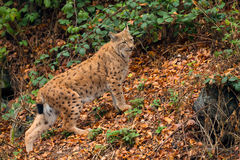Lynx (Lynx lynx) n the Bavarian forest. Royalty Free Stock Image
