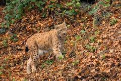 Lynx (Lynx lynx) n the Bavarian forest. Stock Images
